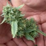 ALEX SEITZ – WALD …Why Republicans Should Support Marijuana Re...