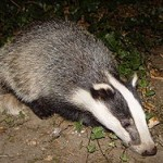 Have You Ever Seen A Badger In Wisconsin?…. So Why The Name?