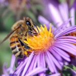 Bees and  Agrichemicals, The Food Supply, Politics, Sociology, And Int...