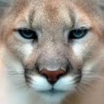 Cougar Night