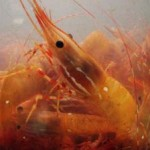 Shrimp Politics – Shrimp's Carbon Footprint Is 10 Times Gre...