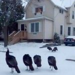 A Day in the Life of Madison's Urban Turkey
