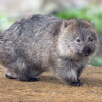 A Good Wombat Story