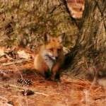 Foxes and Coyotes Among Us