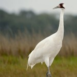 Crane Conservation and Research