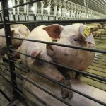 Pig CAFO in Bayfield
