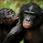Abstinence Training For Bonobos
