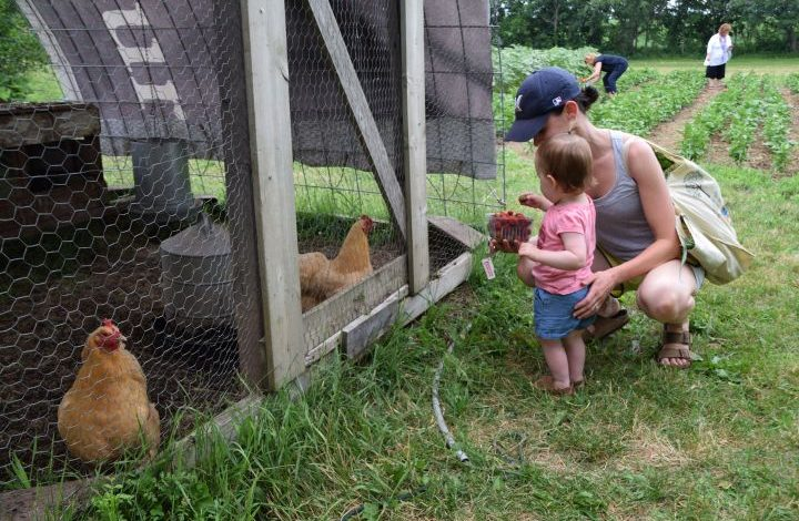 Toddler girl and chickens
