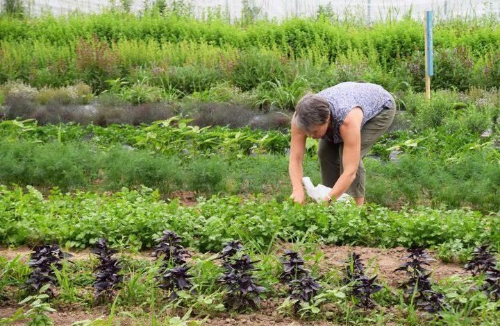 Woman picking cilantro