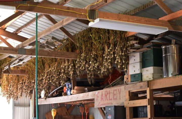 Garlic hanging from the rafter in the pack shed