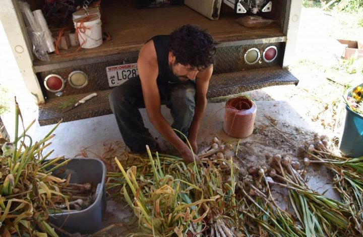 Juan Gonzales bunching garlic