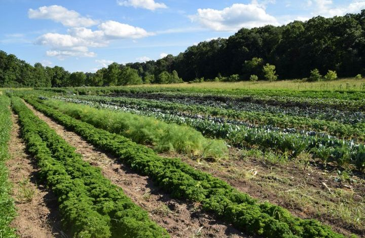 Curly kale, fennel, and more in fields