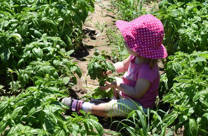 Toddler sitting in field holding basil