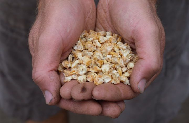 Hands holding corn seed