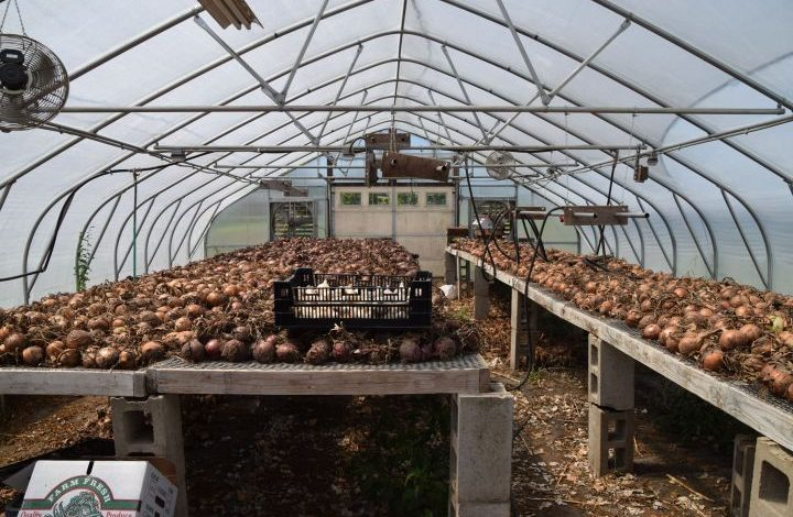 Onions and garlic drying in the hoophouse