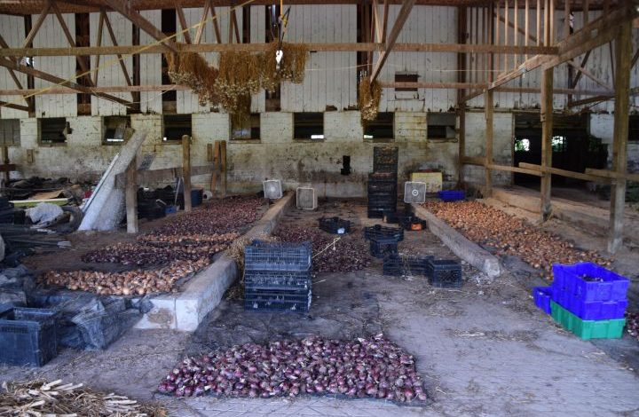 Onions and garlic in a dairy barn