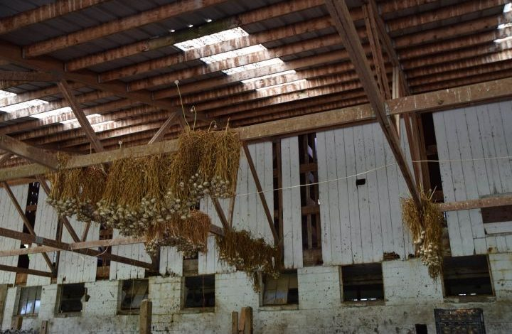 Garlic hanging from the rafters