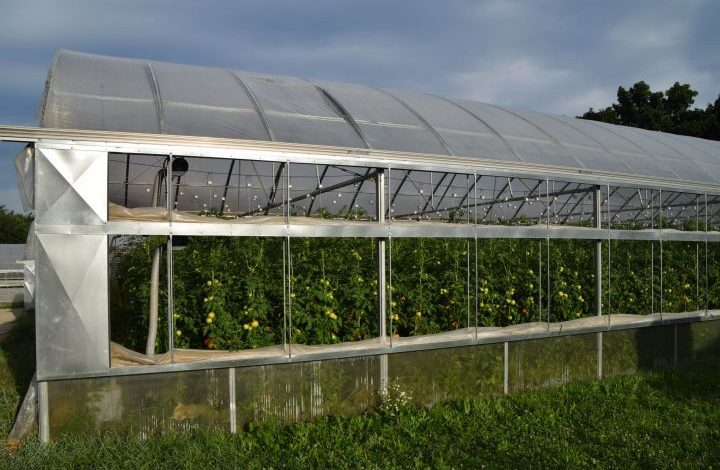 Tomato plants in a greenhouse