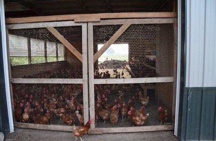 Hens crowded in a hen house with access to the outdoors