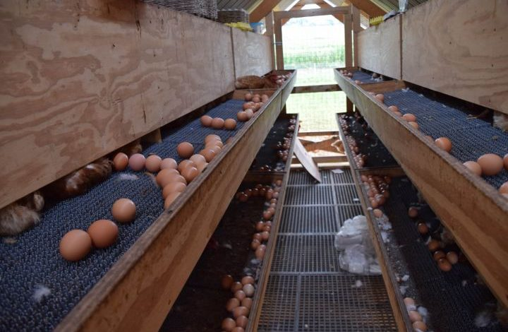 Eggs collecting inside the chicken tractor