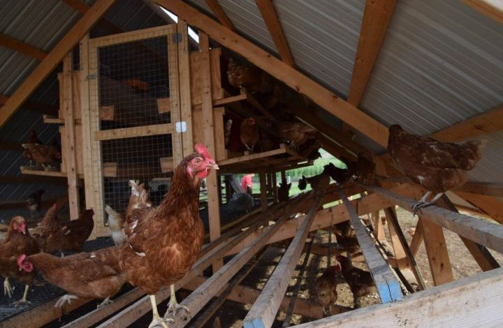 Chicken roosted outside the chicken tractor