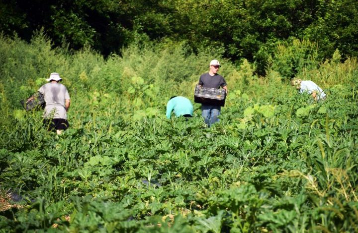 Workers picking squashes
