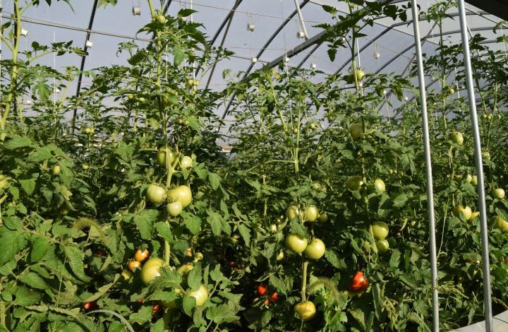 Close up of tomatoes in greenhouse