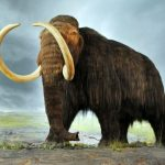 Woolly Mammoths: Where Did They Go?