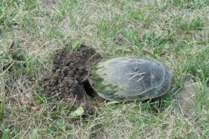 A turtle lays eggs in the bank of the river