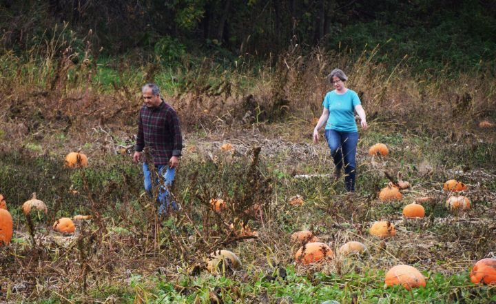 Man and woman walking in pumpkin field