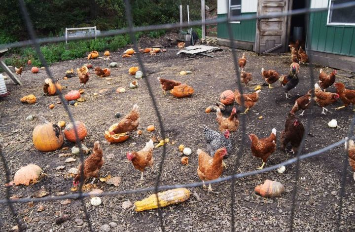 Chickens in a pen with lots of pumpkins and gourds to eat