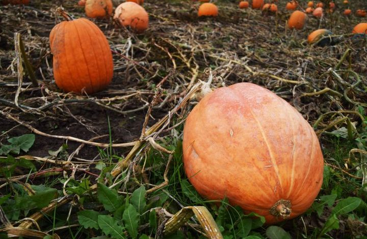 Large orange pumpkins in the field