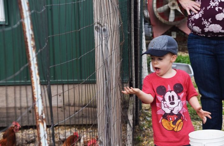 Boy in red t-shirt feeding chickens