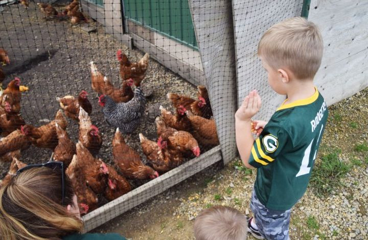 Little boy throwing chicken feed through the fence to the chickens