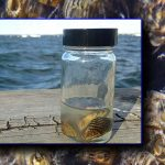 Zebra Mussels in Lake Mendota!