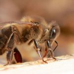 What's happening with honey bees?