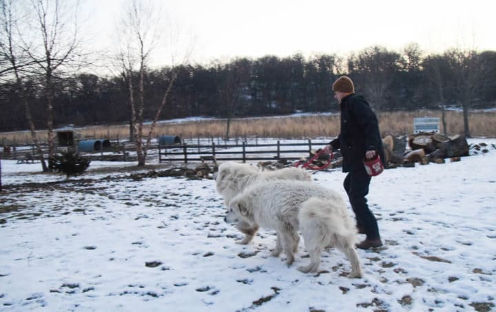 Husband Shannon walking with two Great Pyrenees dogs