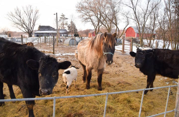 Two black beef cattle, pony, goat