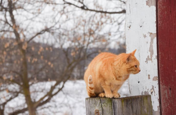 Orange tabby perched on fence post