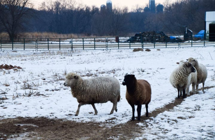 Four sheep in snowy field