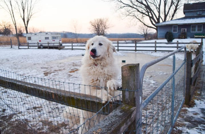 Great Pyrenees climbing up on fence