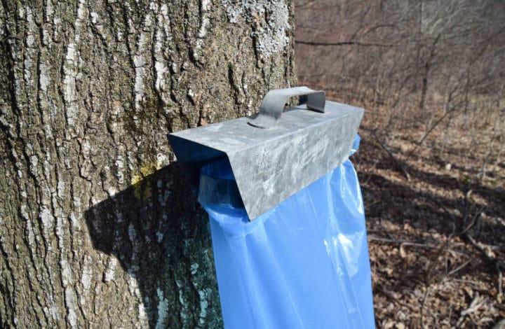 Tree with sap bag hanger