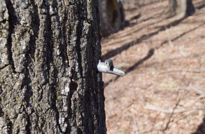 Sugar tap in tree