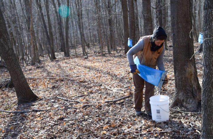 Heidi pouring sap into a bucket