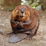 Citizens Express Concern About Warner Park Beaver Traps