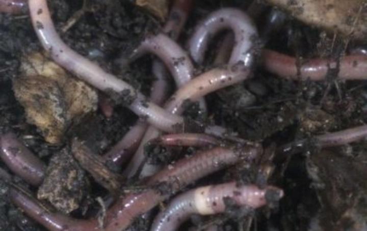 Wisconsin Gardeners Battle Jumping Worms