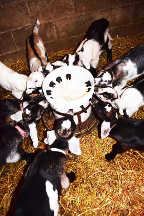 Goat kids nursing from a nipple bucket
