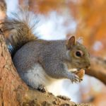 Eastern Gray Squirrels