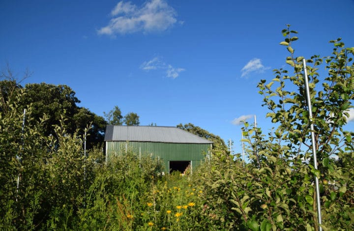 Green barn and apple trees