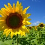 Sunflower Days at Pope Farm Conservancy